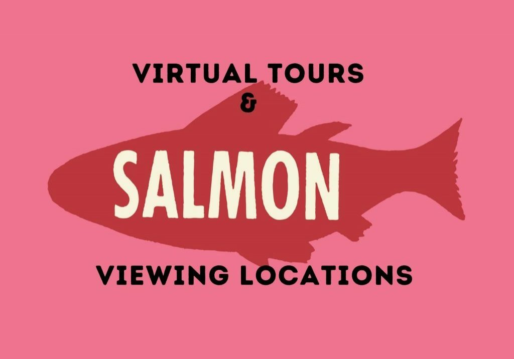 see the salmon migrate in Kitsap!